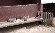 Ворона издевается над котами