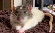 Когда даже крыса милее чем ты