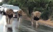Лев гордый зверь