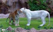 Белый и бенгальский тигр