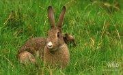 Горностай гипнотизирует кролика