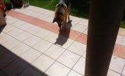 Забавная собака пытается затоптать свою тень. (Funny dog tries to stomp out his shadow.)