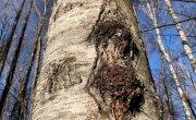 Чага это не гриб !!! Смотреть полностью !!! (Познавательно!) Birch tinder fungus!