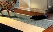 Домашний сервал и кот