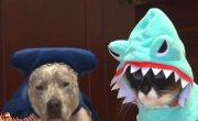 Кот в костюме акулы верхом на робопылесосе преследует утку
