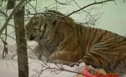 Встреча с тигром - 2
