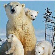 Снежные медведи / Snow Bears