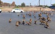 Monkeys Stampede Through Street  ViralHog