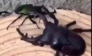 Живой жук против большого робота-жука