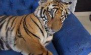 Домашний тигр Ензо
