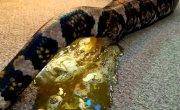 Как срут змеи 21+ ( теперь ты видел всё )