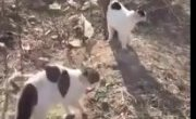 Бойцовые коты