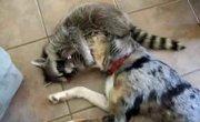 Енот заломал пса и мучает его :)