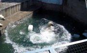 Белые медведи и пластиковая канистра