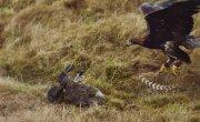 Могучие орлы / Super Powered Eagles - Трейлер