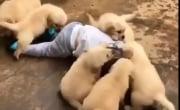 Стая диких собак напала на человека!