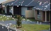 Юг Австралии  захватили тысячи попугаев