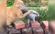 Дружеская драка кота и голубя