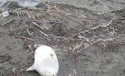 Более 150 погибших краснокнижных тюлений обнаружили на побережье Каспийского Моря в Дагестане.