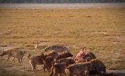 015 Гиены победившего феминизма- матриархат у пятнистых гиен -- Все как у зверей в Кении