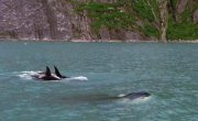 Жизнь животных. Касатка / Wildlife Special - Killer Whale - Фильм