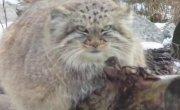 МАНУЛ - редкий, злобный, дикий горный кот!