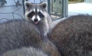 6 месячные енотики растут с каждым днем (Raccoon Kits 6 months old now, growing everyday !)