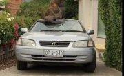 Будни Австралии: ТЮЛЕНЬ Путешественник, на капоте Тойоты, любуется Небосводом. (Часть 1-я)
