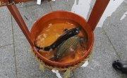 Зачем японцы спаивают рыбу