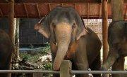 Порабощенные гиганты. Фильм о слонах / Giant Slaves - A film about Elephants - Трейлер