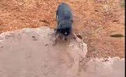 Пёсель ловко копает траншею для воды.