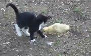Бой,котенок vs индоутка,жесть,ржач,прикол