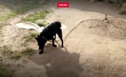 разборки гуся и собаки