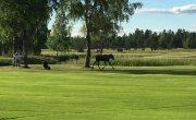 Лоси тоже любят гольф